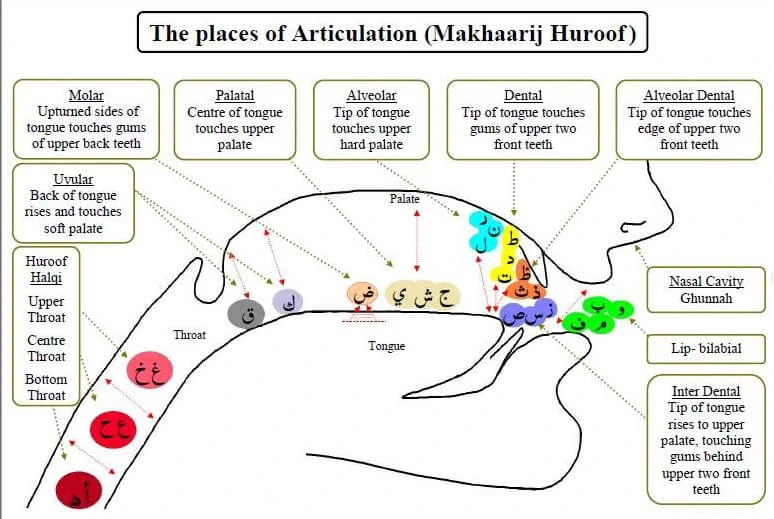 The places of Articulation Makhaarij Huroof infographic | Top Quran Classes